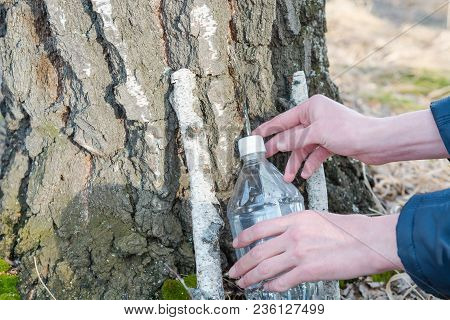 Collection Of Birch Sap. Collect Juice From Birch. Man Collect The Juice With Birch.