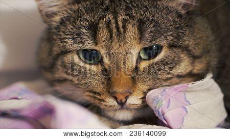 Big Sad Red Cat Lying On The Windowsill. Clip. Close Up Sad Cat Lying At Home.