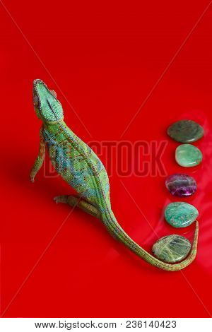 Alive Chameleon Reptile With Semi-precious Stones. Studio Shot On Red Background. Copy Space.