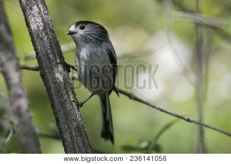 Long Tailed Tit Bird On Tree