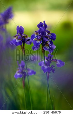 Northern Blue Flag Iris Blooming Shallow Depth Of Field