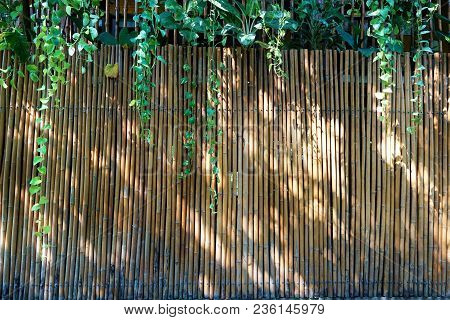 Bamboo Wall, Dry Bamboo Fence As A Background.green Ivy And Sunlight On The Bamboo Wall.space For Te
