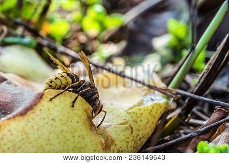 Hornet Eats A Sweet Overripe Fallen Pear In The Garden