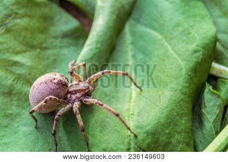 Big Predatory Spider Wolf Hiding On A Green Leaf. Close-up.