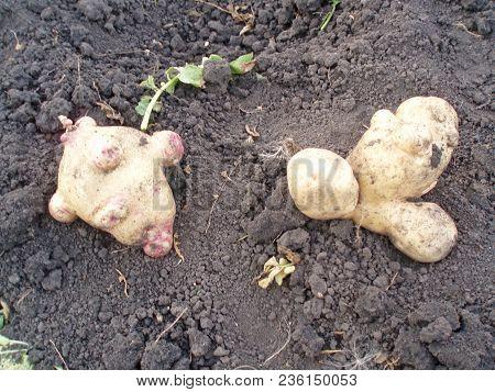 The Potato Of Irregular Shape Lies On The Ground.