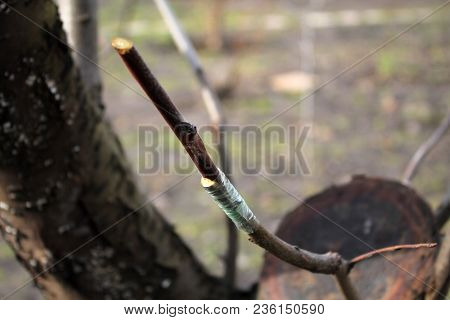 Finished Grafting Fruit Tree In Cleft Using Cuttings. Grafted Place Lubricated By Garden Wax And Wra