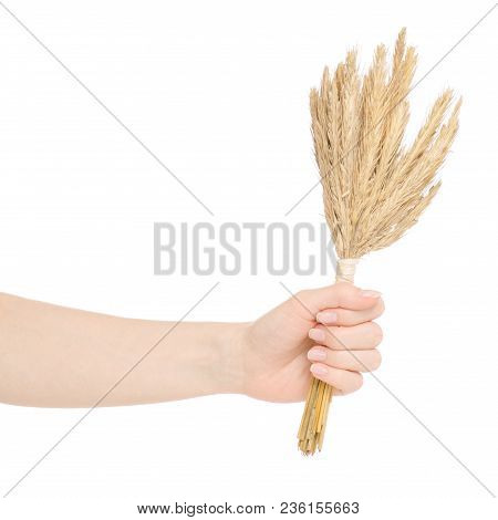 Wheat Bundle In Hands On White Background Isolation