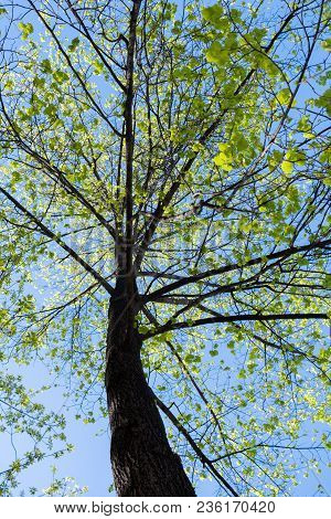 Bottom Up View To Sunlit High Spring Linden With Green Young Leaves Against Blue Sky.