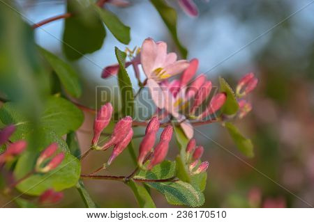 Pink Flowers Of Honeysuckle On The Branche With Leafs
