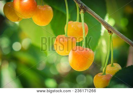 Rainier Cherries Hanging On Branch Harvest Season At Yakima Valley, Washington, Usa