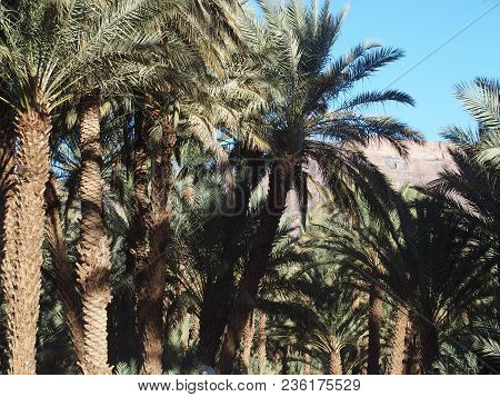 Landscapes Of Green Palm Trees In Oasis In Central Morocco In Old Village Of Oulad Near Zagora City,