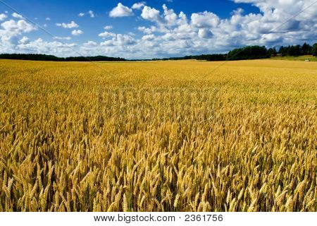 Ripe Wheat Field