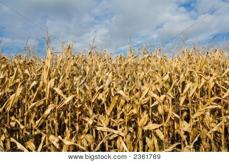 Ripe Corn Field