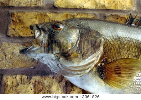 Fish - Small Mouth Bass (Taxidermy)