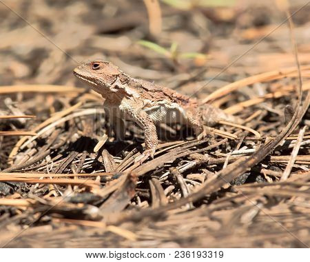 The Rare Kaibab Horned Lizard. The Species Of Horned Lizard Is Only Found In The Kaibab Forest Of Ar