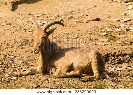 Male Himalayan Tahr Hemitragus Jemlahicus On The Rock
