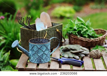 Picking Fresh Organic Mint From Own Garden. Summer Gardenwork On Farm, Homegrowth Herbs And Nature C