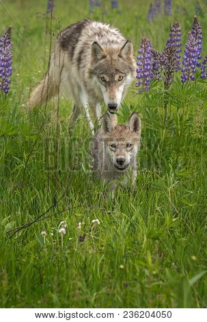 Juvenile Grey Wolf (canis Lupus) Chases After Pup - Captive Animals