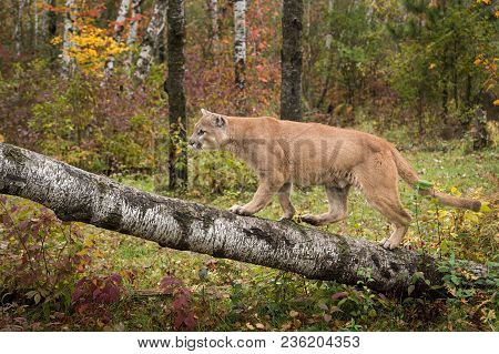 Adult Male Cougar (puma Concolor) Walks Up Birch Branch - Captive Animal