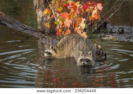 Raccoons (procyon Lotor) Hang Out On Log - Captive Animals