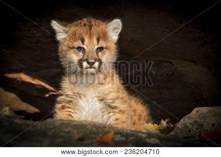 Female Cougar Kitten (puma Concolor) In Rocks - Captive Animal