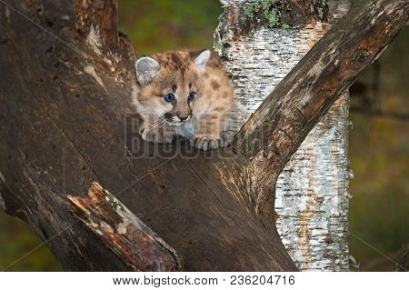 Female Cougar Kitten (puma Concolor) Looks Right From Tree - Captive Animal