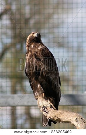 The Rock Eagle (aquila Chrysaetos) Is One Of The Largest Terrestrial Eagles In The Northern Hemisphe
