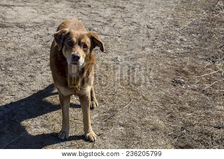 The Stray Red Dog With Sad Eyes