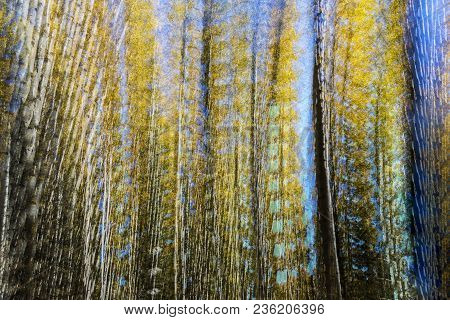 An Abstract Of Quaking Aspens In Fall Created From Multiple Exposures.