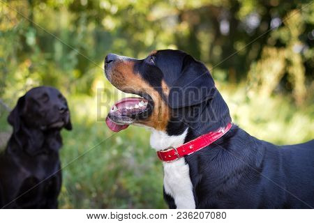Great swiss mountain dog and labrador retriever walking outdoors in summer.