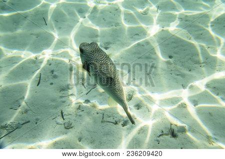 Fish Puffer On A Sandy Bottom, Undersea