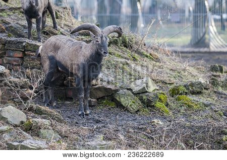 Siberian Ibex, Capra Siberia. Ibex Live Mainly In The Mountains Of Asia. Their Range Extends From So
