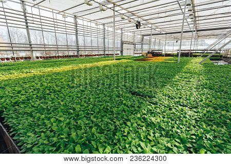 Modern Large Greenhouse Or Hothouse, Cultivation And Growth Seeds  Of Ornamental Plants, Flower Nurs
