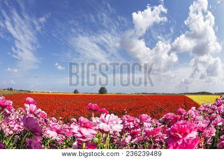 Adorable pink garden buttercups - ranunculus bloom on a farm field. Windy day in May. Concept of ecological and rural tourism