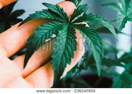 Hands On A Man A Beautiful Leaf Of Cannabis, Marijuana, Herb Con Indoor Cultivation, Cannabis Grow G