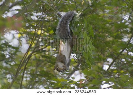 An Agile Gray Squirrel Hangs Upside Down By Its Tail From A Japenese Maple Tree And Feasts On Its Se