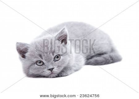 Studio portrait of cute young gray British kitten lying on isolated white background poster