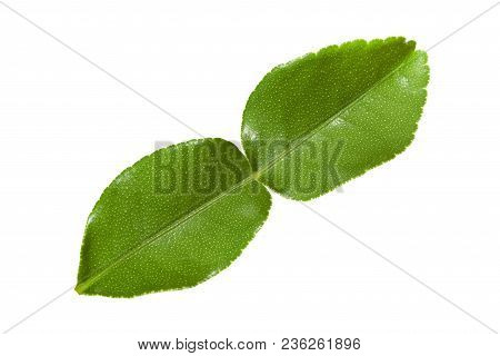 Kaffir Lime Leave Isolated On White Background With Clipping Path