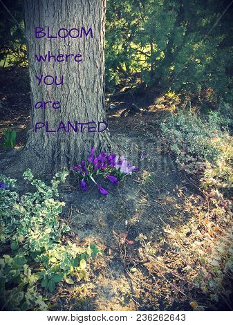 Bloom Where You Are Planted. Inspirational Text In Purple Font On Tree Trunk. Purple Crocuses In Blo