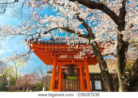 Full cherry tree blossom at the Sanjusangen-do Shinto temple in Kyoto, Japan