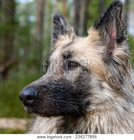A Close Up Portrait Of A Dog In A Swedish Forest From One Side