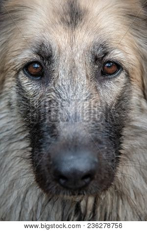 Close Up Portrait Of A Dog In Sweden