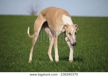 Beautiful Brown Galgo Is Walking In The Park
