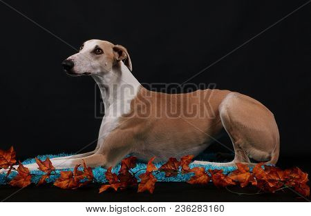 Beautiful Galgo Is Lying On A Carpet In The Studio With Autumn Decoration