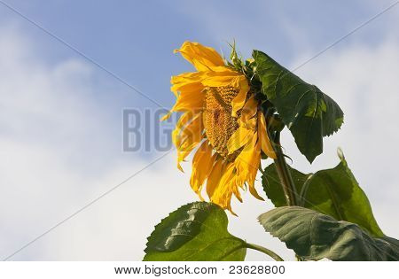 Sunflower On A Field Against Blue Sky