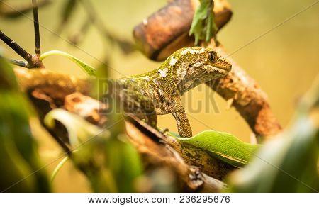 Rough Gecko (naultinus Rudis) Found In New Zealand Native Bush.