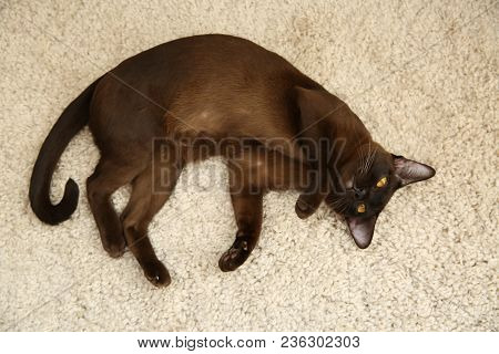 Playful  Brown Burmese Cat Lying On The Carpet Beige Pile Carpet.