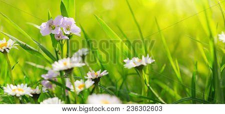 Beautiful Daisy In A Meadow . Daisies In Grass - Light Bokeh.