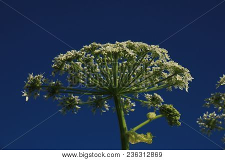 A Giant Hogweed In A Clear Blue Sky
