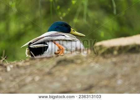 Close-up Of A Male Mallard Duck Who Sits At The Shore. View To A Beautiful Relaxed Duck In Spring. A